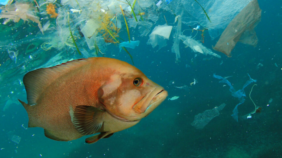 Fish surrounded by plastic in the ocean, contamination that will have a negative effect on human health